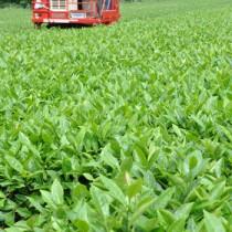 一番茶の収穫が始まった「べにふうき」の茶=21日、天城町