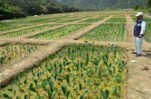 屋仁集落に広がるタイモの水田。碁盤の目のような区画が整然と並ぶ=16日、奄美市笠利町