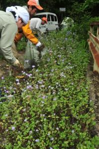 外来植物ムラサキカッコウアザミの除去作業を行う奄美マングースバスターズら=24日、住用川にかかる「きょらむん橋」