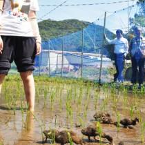 研究所職員が見守る中、田に放たれた10羽のアイガモ=23日、瀬戸内町節子