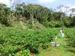 知名町で無農薬で栽培されているシマグワ