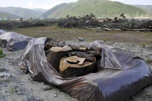 漁港に仮置きされた伐倒処理後の松=2日、奄美市名瀬の知名瀬