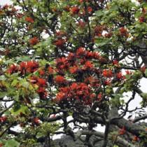 樹勢が回復して花をつけた木=28日、瀬戸内町加計呂麻島諸鈍