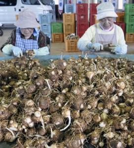 選果場に運び込まれたサトイモのこぶ取り作業=与論町茶花