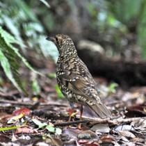 餌を探すため林床に舞い降りたオオトラツグミ=奄美大島の山中