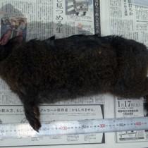 奄美野生生物保護センターに持ち込まれたアマミノクロウサギの死骸(提供写真)