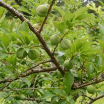 収穫シーズンを間近に控えた奄美プラム(スモモ)=5月12日、大和村