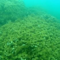 泥をかぶって大半が死滅したハマサンゴ=29日、奄美市住用町市沖の海底(自然と文化を守る奄美会議提供)
