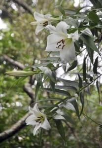 見ごろを迎えたウケユリの花=25日、瀬戸内町請島