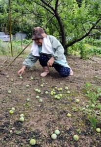 台風6号の影響で実が落下したスモモ農園=12日、大和村大和浜