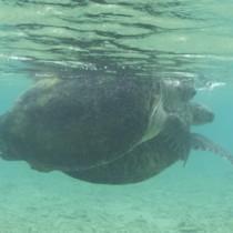 リーフ内で確認されたアオウミガメの交尾の様子=14日、奄美市名瀬根瀬部(興克樹さん提供)