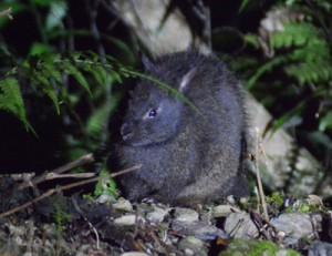 夜の森で食事を楽しむアマミノクロウサギの幼獣=奄美大島の山中