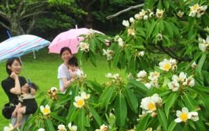 雨露にぬれ、梅雨期を彩るイジュの花=19日、奄美市の名瀬運動公園