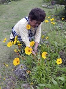 民家の庭に繁殖したオオキンケイギク=11日、和泊町