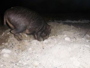 ウミガメの産卵巣を掘り起こすイノシシ(奄美海洋生物研究会撮影)と食害に遭った卵の殻=大和村戸円のヒエン浜