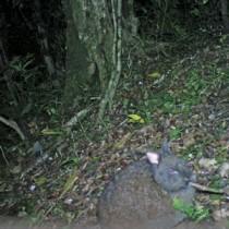 自動撮影カメラが捉えたアマミノクロウサギ=2015年3月30日午前1時ごろ、伊仙町の犬田布岳(環境省徳之島自然保護官事務所提供)