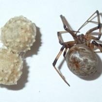 徳之島で確認された毒グモのハイイロゴケグモの雌と卵のう
