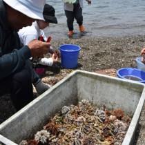 シラヒゲウニの殻を割って身を取り出す人々=1日、奄美市名瀬芦花部