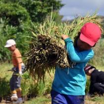 束ねた稲を運ぶ児童=7日、大城小