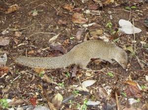 生息密度の低下が続くマングース(奄美野生生物保護センター提供)