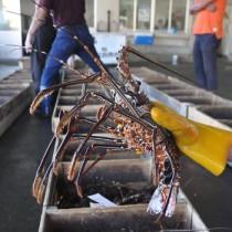 漁解禁を迎え、次々と水揚げされた生きのいいイセエビ=21日、奄美市名瀬の名瀬漁協