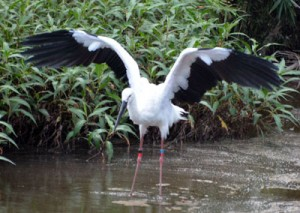 水辺で羽を広げるコウノトリ=20日、奄美大島北部の水辺