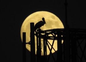 中秋の名月の夜に現れたコウノトリ=28日午後6時27分、龍郷町中勝(宮山清峰さん撮影)