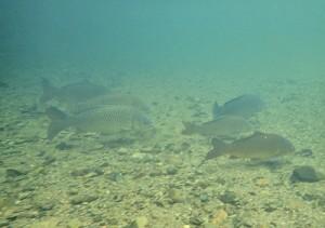 住用川上流で確認されたコイ成魚の群れ(奄美海洋生物研究会撮影)