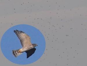 上昇気流に乗って大空を舞うアカハラダカの群れ(円内は幼鳥)=と、タカ柱を追う崎原小の児童ら=25日、奄美市名瀬