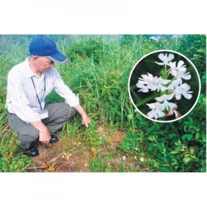ダイサギソウ(円内は花)の約30株が根こそぎ盗掘された現場=8日、奄美市名瀬