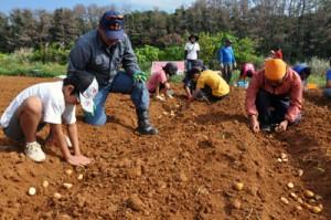 バレイショを手作業で植え付ける参加者=17日、和泊町谷山