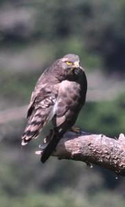 奄美大島に飛来した旅鳥のサシバ=7日、奄美市名瀬の山中