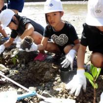種から育てたメヒルギの苗木を植える田検小の児童たち=26日、宇検村湯湾