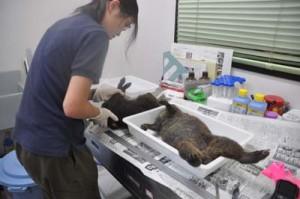 奄美大島の県道で発見されたアマミノクロウサギの死骸=6日、奄美野生生物保護センター