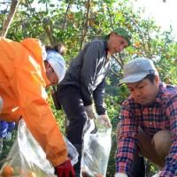 ミカンコミバエ防除のため、落下した果実を回収する大島地区農業青年クラブのメンバーら=28日、奄美市住用町の果樹園