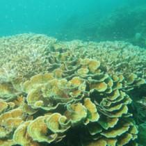 龍郷湾で確認されたセンベイサンゴ群落(鹿大国際島嶼教育センター提供)