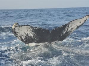 個体識別調査で奄美海域来遊数が過去最多の170頭に達したザトウクジラの尾びれ=2月、奄美市笠利町沖