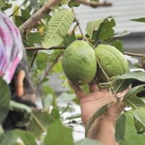 ミカンコミバエの拡大防止のため廃棄を呼び掛けているグアバの果実=12日、伊仙町