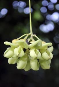 花を咲かせたワニグチモダマ=23日、知名町の沖泊海浜公園