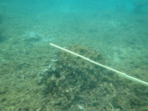 泥をかぶって死滅したユビエダハマサンゴ=18日、奄美市住用町市沖の海底(日本自然保護協会提供)