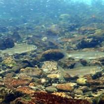 生息個体数が8万匹を超え、過去最多となった奄美大島のリュウキュウアユ=10日、奄美市住用町の役勝川
