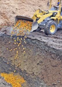 廃棄命令を受け、埋設されるポンカン=14日午前11時30分ごろ、奄美市名瀬朝戸地区の市有地