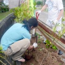 フクギ並木の再生・保存を目的に行われた苗木の植樹作業=13日、大和村国直