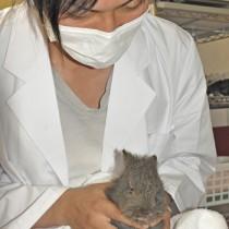 負傷して保護されたアマミノクロウサギ=14日、徳之島町