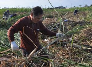 昔ながらのサトウキビの収穫作業に汗を流した住民ら=9日、天城町
