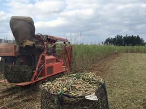 ハーベスターによるサトウキビの収穫作業。雨の日が多く遅れが出ている=26日、奄美市笠利町
