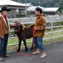 トカラ馬のティンを連れて散歩する白石さん(中央)。住民も温かく見守る=11日、大和村戸円