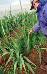 強風で折れたグラジオラスの茎を起こす農家=25日、知名町屋者