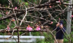 秋名のヒカンザクラ開花3
