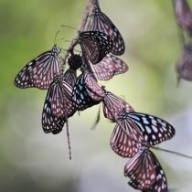 奄美大島で集団越冬しているリュウキュウアサギマダラ